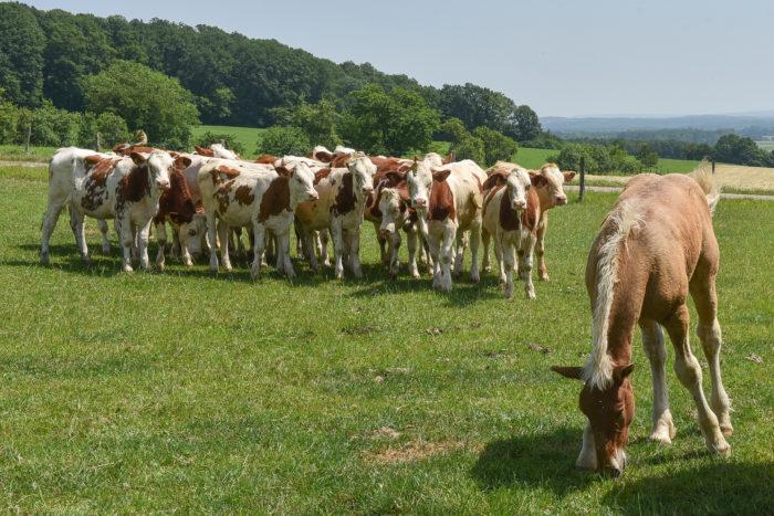 Vache de salon